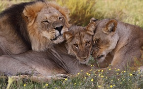 Wallpaper family, lions, wildlife, South Africa