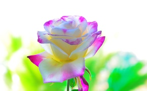 Picture background, rose, beauty, petals