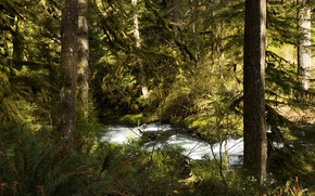 Picture forest, trees, stream, USA, the bushes, Silver Falls National Park