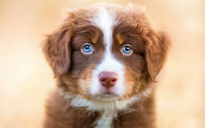 Picture animals, look, dog, puppy, blue eyes