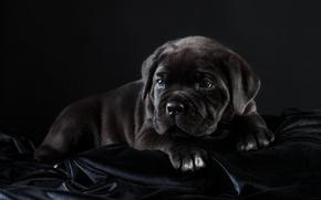 Picture black, puppy, cane Corso