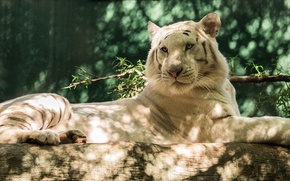 Wallpaper predator, log, white tiger