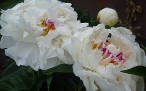 Picture Flowers, White, Rosa, Belarus, Peonies