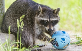 Picture grass, the game, raccoon, the ball, ©Tambako The Jaguar