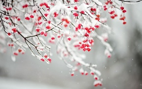 Picture snow, branches, nature