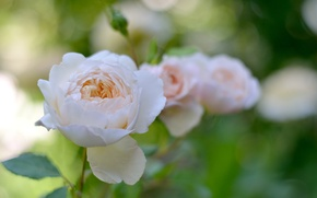 Picture flower, leaves, nature, gentle, rose, garden