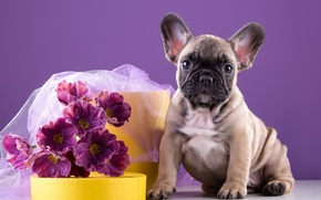 Picture flowers, puppy, bulldog, doggie, French