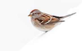 Picture macro, snow, bird, arboreal passerine Bunting