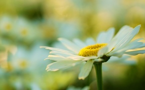 Picture white, flower, flowers, yellow, background, widescreen, Wallpaper, plant, blur, Daisy, wallpaper, flower, widescreen, background, macro, …