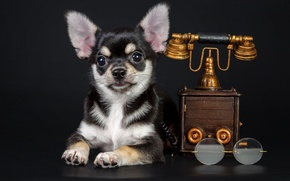 Picture dog, glasses, puppy, phone