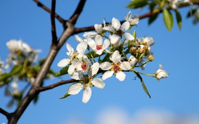 Picture color, spring, pear