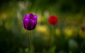 Picture flower, purple, macro, blur, Tulip