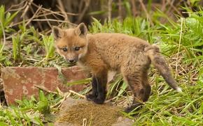 Wallpaper baby, stones, grass, Fox
