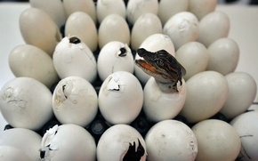 Wallpaper crocodiles, eggs, birth, tray