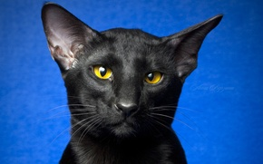 Picture eyes, cat, look, black cat, blue background, Oriental