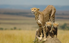 Picture family, kittens, Cheetah, mother