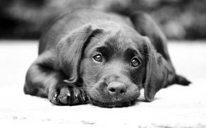 Picture look, dog, Labrador
