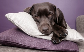 Picture dog, lies, pillow, Labrador