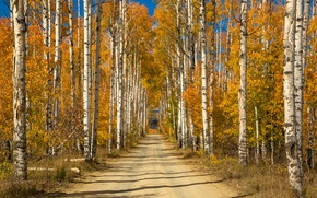 Wallpaper autumn, grove, birch, alley, yellow, trees, road, Sunny