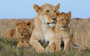 Picture Leo, family, the cubs, lioness, cubs