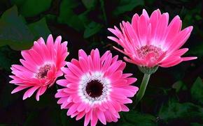 Picture pink, gerbera, pink, Gerbera