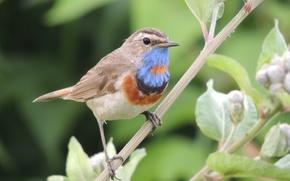 Picture birds, nature, Bluethroat
