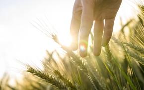 Picture the sun, wheat, light, field, rye, hand, ears