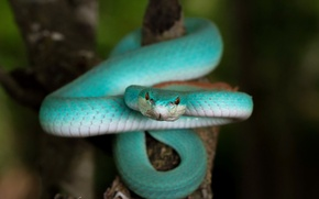 Wallpaper Blue Trimeresurus insularis, snake, nature