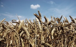 Wallpaper wheat, field, the sky, blue