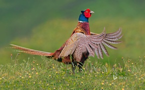 Picture bird, feathers, tail, Netherlands, pheasant, Texel