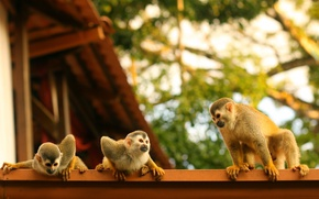 Picture roof, family, monkey