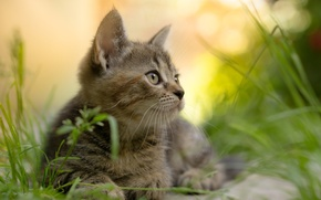 Picture summer, grass, look, nature, animal, kitty
