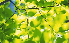 Wallpaper branch, nature, tree, foliage, spring leaves, greens, freshness, branches