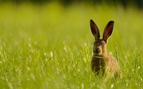 Wallpaper summer, nature, hare