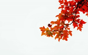 Picture autumn, white, leaves, stems, branch, red leaves
