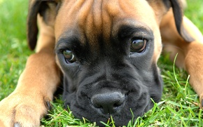 Picture grass, eyes, reflection, paws, small, nose, photographer, looks, puppy, boxer, Boxer