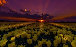 Wallpaper night, field, tulips