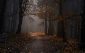 Picture autumn, forest, leaves, trees, fog, the evening, forest, Nature, grove, path, trees, autumn, leaves, evening, …