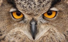 Picture eyes, owl, bird, beak