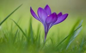 Wallpaper flower, grass, Krokus
