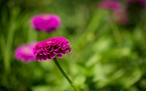 Wallpaper flower, pink zinnia, leaves