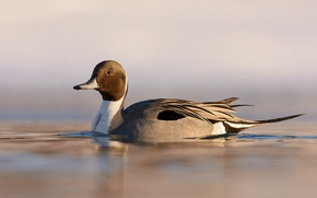 Picture lake, duck, wildlife, ripples, northern pintail, anas acuta