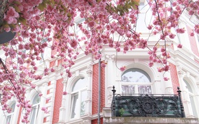 Picture the city, house, tree, France, Paris, the building, Windows, Sakura, balcony, Paris, architecture, flowering, France