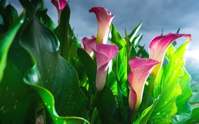 Picture pink, buds, Calla lilies