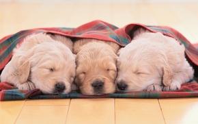 Picture puppies, Golden Retriever, Golden Retriever