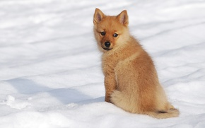 Picture winter, snow, dog, puppy, The Finnish Spitz