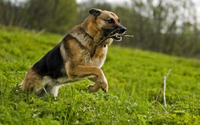Picture GRASS, MOVEMENT, MOUTH, The GAME, RUNNING, GLADE, FANGS, GREEN, STICK, LAWN, SHEPHERD