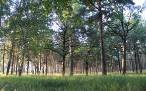 Picture forest, grass, birch, pine