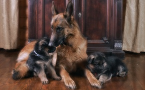 Picture family, puppies, mom, German shepherd