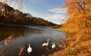 Picture autumn, forest, leaves, trees, lake, yellow, swans, gold